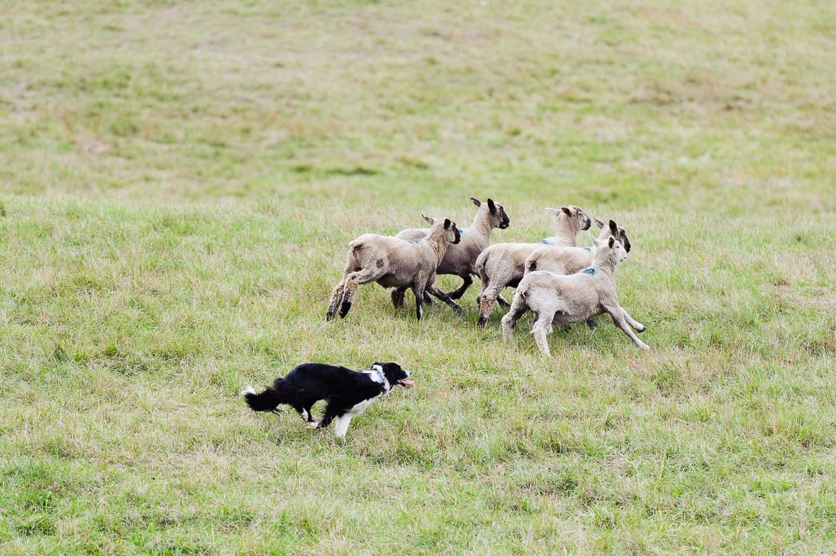 Herding Dogs Gone Wild