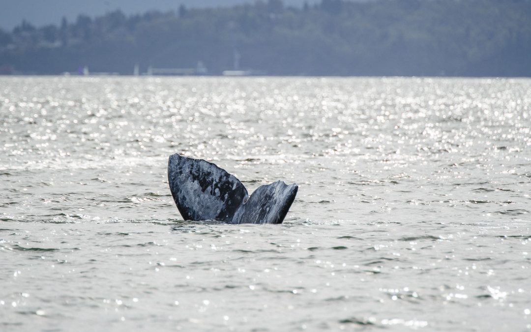 Gray whales are back